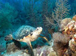 Hawksbill Turtle Lunching - 8x10  $30.00